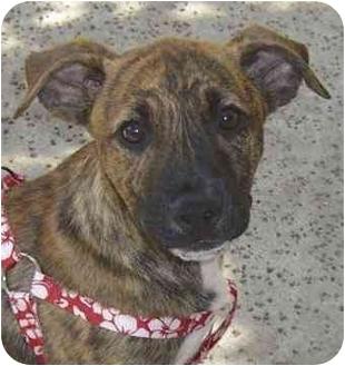 American Staffordshire Terrier/Basset Hound Mix Puppy for adoption in El Segundo, California - TwoToes