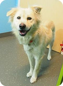 Retriever (Unknown Type)/Collie Mix Dog for adoption in METAIRIE, Louisiana - Snow
