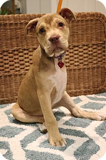 Boxer/American Pit Bull Terrier Mix Puppy for adoption in Hagerstown, Maryland - Belle
