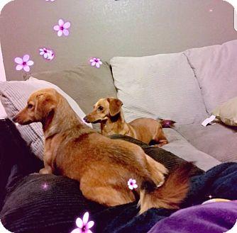 Dachshund Mix Dog for adoption in San Antonio, Texas - Salten