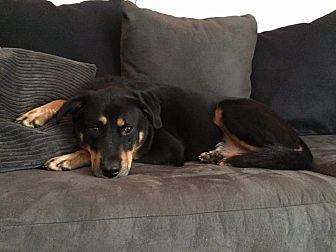 Doberman Pinscher/Labrador Retriever Mix Dog for adoption in Wedgefield, South Carolina - Rally