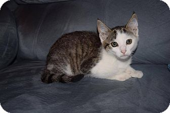 Domestic Shorthair Kitten for adoption in Oxford, Connecticut - Parker