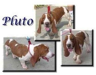 Basset Hound Dog for adoption in Marietta, Georgia - Pluto