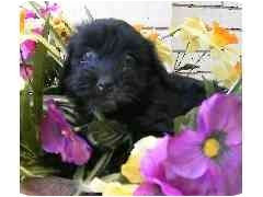Shih Tzu/Cockapoo Mix Puppy for adoption in Provo, Utah - LILY