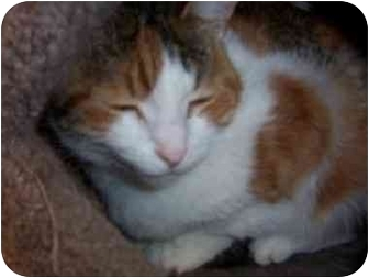 Domestic Shorthair Cat for adoption in San Diego/North County, California - Odetta