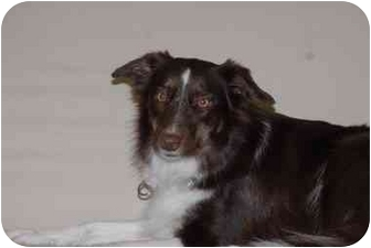 Border Collie Dog for adoption in Ft. Myers, Florida - Gale
