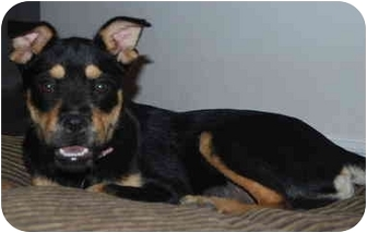 Terrier (Unknown Type, Medium)/Pug Mix Dog for adoption in Las Vegas, Nevada - Curly