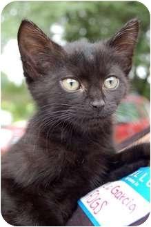 Bombay Kitten for adoption in Cincinnati, Ohio - Covedale Bombays