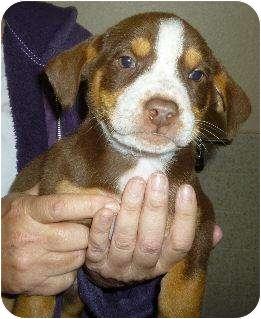 Australian Shepherd/Labrador Retriever Mix Puppy for adoption in Sacramento, California - Ethan and Siblings