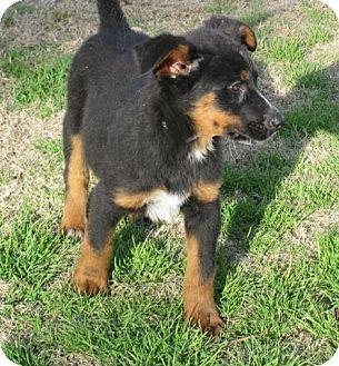 Doberman Pinscher Mix Dog for adoption in East Hampton, New York - Humphrey