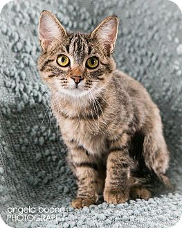 Domestic Shorthair Cat for adoption in Eagan, Minnesota - Templeton