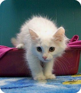 Domestic Longhair Kitten for adoption in Dover, Ohio - Princess