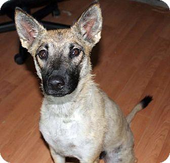 German Shepherd Dog Mix Dog for adoption in Astoria, New York - Sami