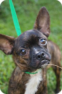 Boston Terrier/Chihuahua Mix Puppy for adoption in Newark, Delaware - Monkeyface