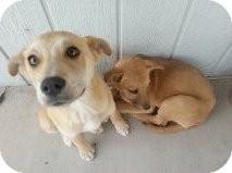 Shepherd (Unknown Type) Mix Puppy for adoption in Las Vegas, Nevada - Lilo