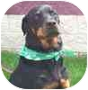 Rottweiler Dog for adoption in Austin, Texas - Cheyenne