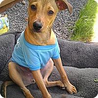 Adopt A Pet :: Cooper - Honolulu, HI