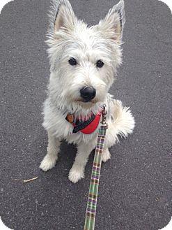 Schnauzer (Miniature)/Husky Mix Dog for adoption in Pierrefonds, Quebec - Bailey