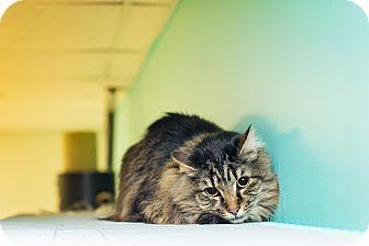 Maine Coon Cat for adoption in Fredericksburg, Virginia - Bojangles