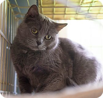 Russian Blue Cat for adoption in Lombard, Illinois - Ella