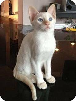 Siamese Kitten for adoption in Richmond, California - Vanilla