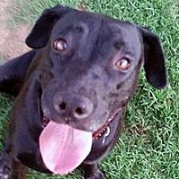 Labrador Retriever Mix Dog for adoption in Phoenix, Arizona - Vanessa