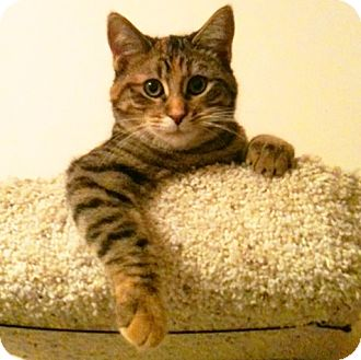 Domestic Shorthair Kitten for adoption in Lombard, Illinois - Chloe