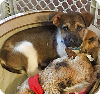 Sheltie, Shetland Sheepdog/Husky Mix Puppy for adoption in Olive Branch, Mississippi - Fallon