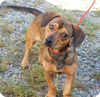Dachshund/Chihuahua Mix Dog for adoption in West Sand Lake, New York - Max(17 lb) Fun & Sweet!
