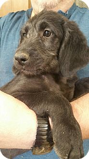 Labradoodle Puppy for adoption in Ogden, Utah - Scooter