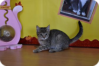 Domestic Shorthair Kitten for adoption in North Judson, Indiana - Mamoo