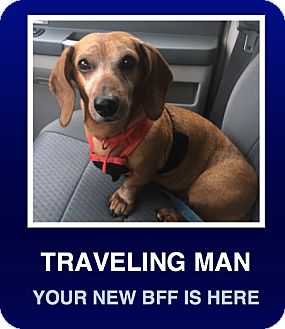 Dachshund Dog for adoption in Morrisville, Pennsylvania - Dude