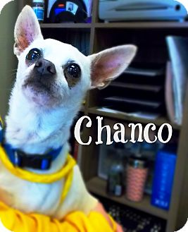 Chihuahua Mix Dog for adoption in Defiance, Ohio - Chanco