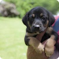 Adopt A Pet :: Puppy Remington - Harvard, IL