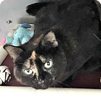 Domestic Shorthair Cat for adoption in Shelby, Michigan - Mocha
