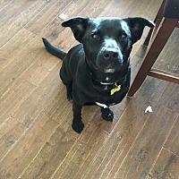 Adopt A Pet :: Joni - Glastonbury, CT