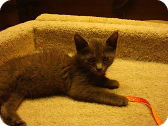 Russian Blue Kitten for adoption in Bridgeton, Missouri - DeSoto