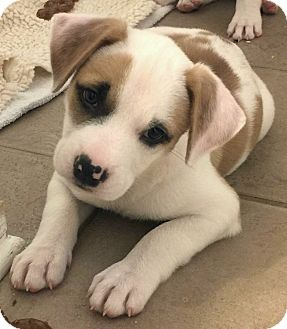 German Shepherd Dog/American Bulldog Mix Puppy for adoption in Saratoga Springs, New York - Wilma 💖 ADOPTED!