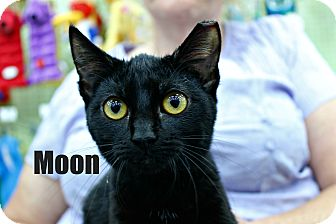 Domestic Shorthair Kitten for adoption in Wichita Falls, Texas - Moon