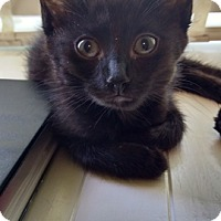 Domestic Shorthair Kitten for adoption in Vancouver, British Columbia - Cleo