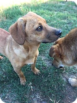 Dachshund Mix Dog for adoption in Smithtown, New York - Izzy