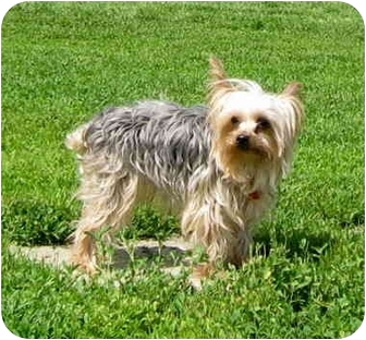 Yorkie, Yorkshire Terrier Dog for adoption in Ile-Perrot, Quebec - Yoshi