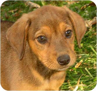 Beagle/Hound (Unknown Type) Mix Puppy for adoption in Jacksonville, Florida - Cowboy
