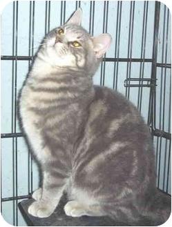 Domestic Mediumhair Cat for adoption in Metamora, Indiana - Lenny