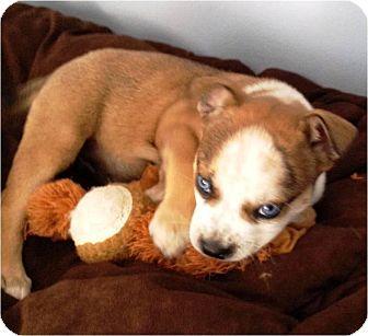 Australian Cattle Dog/Boston Terrier Mix Puppy for adoption in Hammonton, New Jersey - sassy