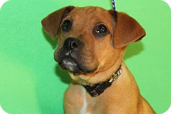 Boxer Mix Puppy for adoption in Broomfield, Colorado - Moe