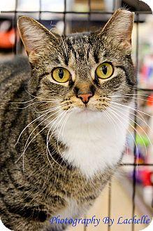 Domestic Shorthair Cat for adoption in Richmond, Virginia - Tina