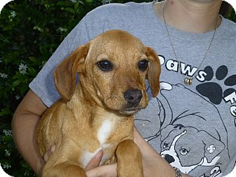 Dachshund Mix Puppy for adoption in Oviedo, Florida - Tiny