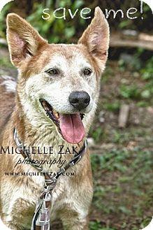 German Shepherd Dog/Labrador Retriever Mix Dog for adoption in Miami, Florida - Lobo