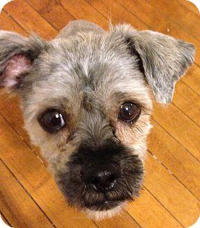 Brussels Griffon/Schnauzer (Standard) Mix Puppy for adoption in Chicago, Illinois - ERNIE